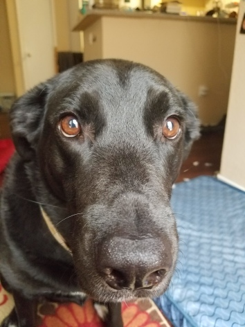 alt=close-up on a black labrador's face